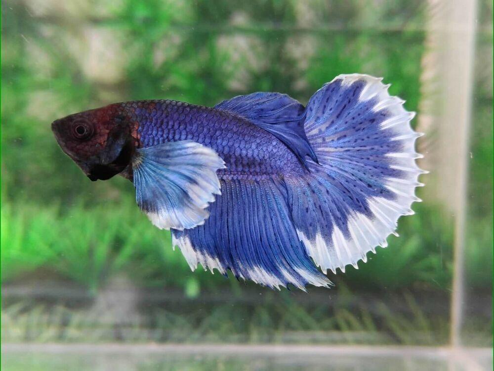 Betta Fish UK - Betta Fish ideas #bettafish #fishbetta Blue