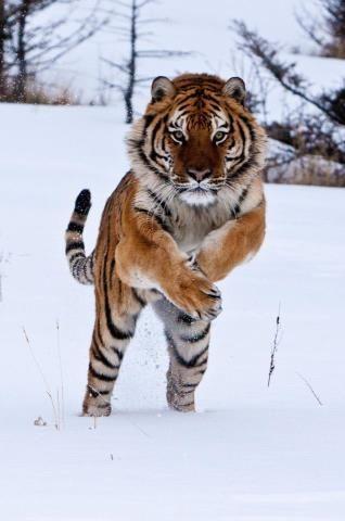 Pouncing Tiger!!!!