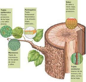 ¿Qué es Tejidos Vegetales? - Su Definición, Concepto y Significado