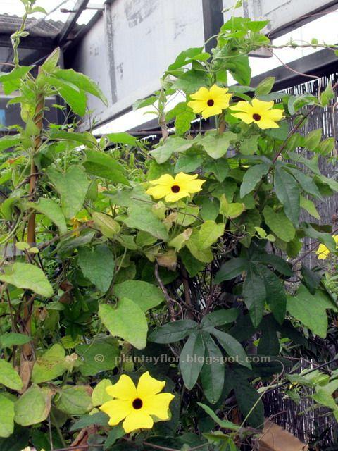 Thunbergia alata ojo de poeta trepadora crecimiento r pido necesita sol jardiner a ojo - Plantas enredaderas de crecimiento rapido ...