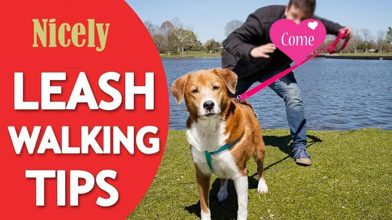 Train Your Dog To Walk Nicely On Leash By Jun Liu Training Your