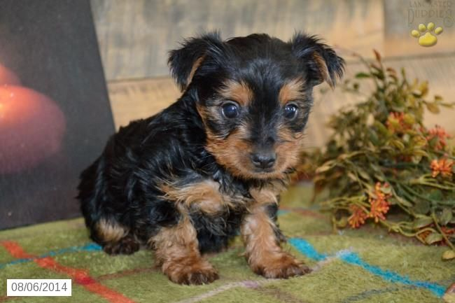 Cassidy Yorkshire Terrier Puppy For Sale In Millersburg Oh Yorkshire Terrier Puppies Yorkshire Terrier Yorkie Terrier