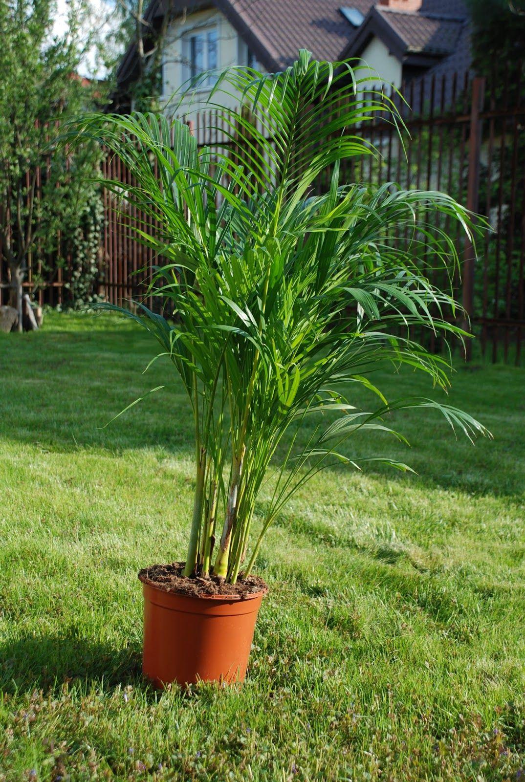 Przesadzac Palme Jak I Kiedy Best Indoor Plants Indoor Plants Plants