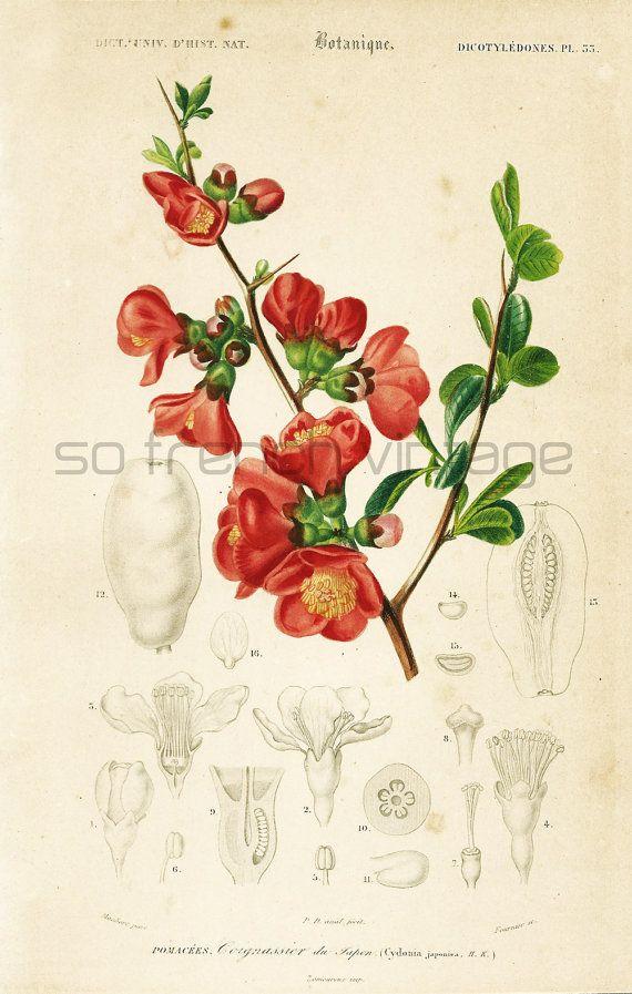 Louisiana Map Decor%0A      Cognassier du Japon Orbigny Planche Originale Couleurs peintes    la  main Qualit   Exceptionnelle Botanique Fleurs