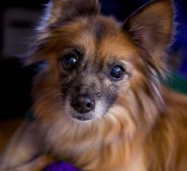 Biscuit & Macy is an adoptable Pomeranian Dog in Palatine, IL. Hi there! Were Biscuit & Macy, and if youre looking for sweet and fun, then we are your girls! Biscuit is an 8-10 year old female pomeran...