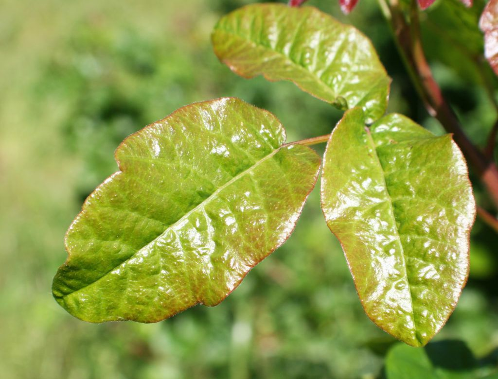 0aa67a0517556f689e920f084de7eaf1 - How To Get Poison Ivy Oil Out Of Clothes