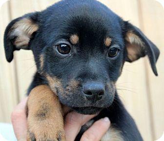 Hagerstown Md Shih Tzu Whippet Mix Meet Caesar A Puppy For Adoption Puppy Adoption Whippet Mix Puppies
