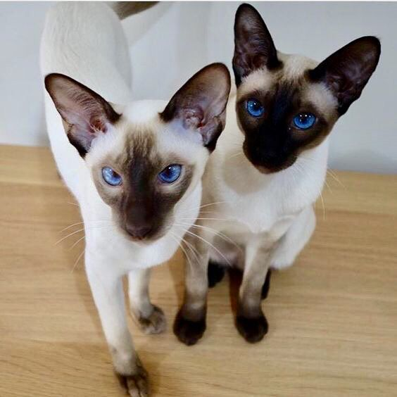 Pin By Lisa George On Cats 2019 Siamese Cats Siamese Kittens