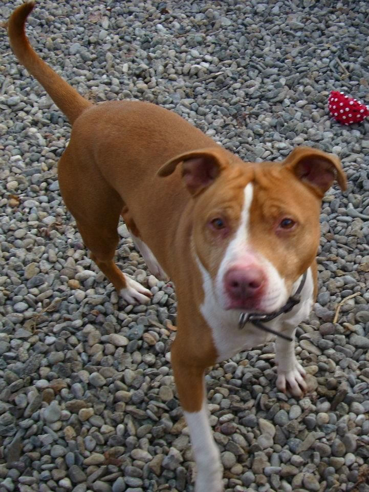 Sadie Is That You Lol Claire Guigal Brune Pitbullpictures Baby Animals Cute Animals Animal Lover