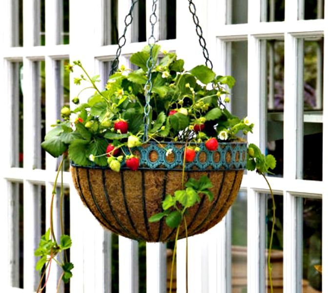 7 Tips For Growing Strawberries In A Container Strawberry Plants