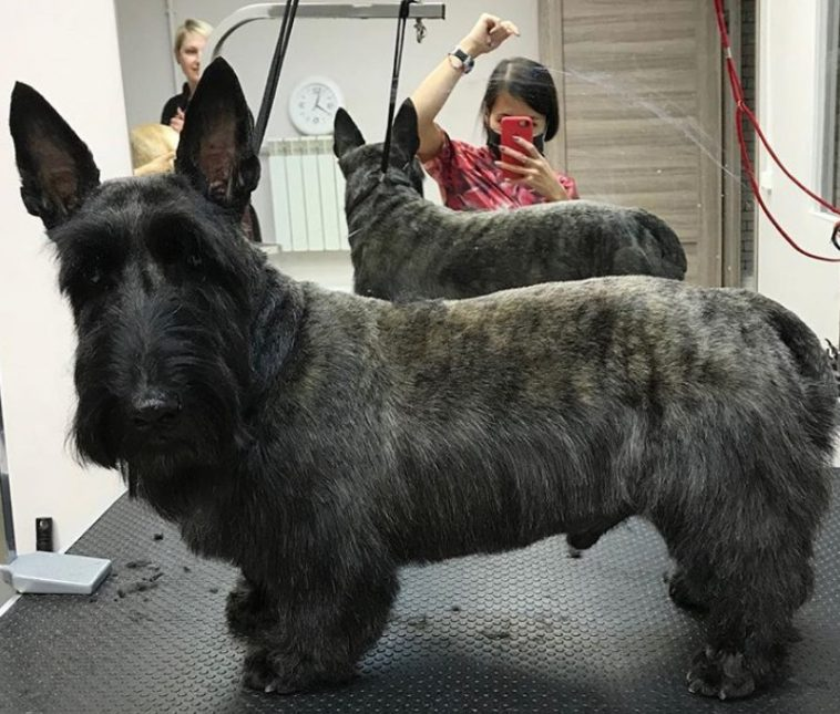 14 Best Scottish Terrier Haircuts For Dog Lovers The Paws Scottish Terrier Scottie Dog Dog Lovers