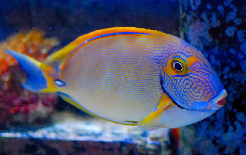 Who Has Kept A Dussumieri Tang I Want One For My Upgrade Saltwater Fish Tanks Tang Fish Sea Fish