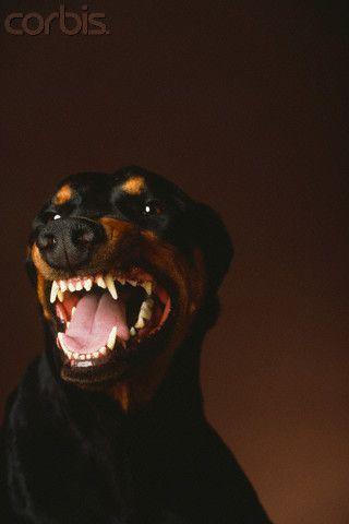 growling doberman - Google 검색   Art poses - photo#23