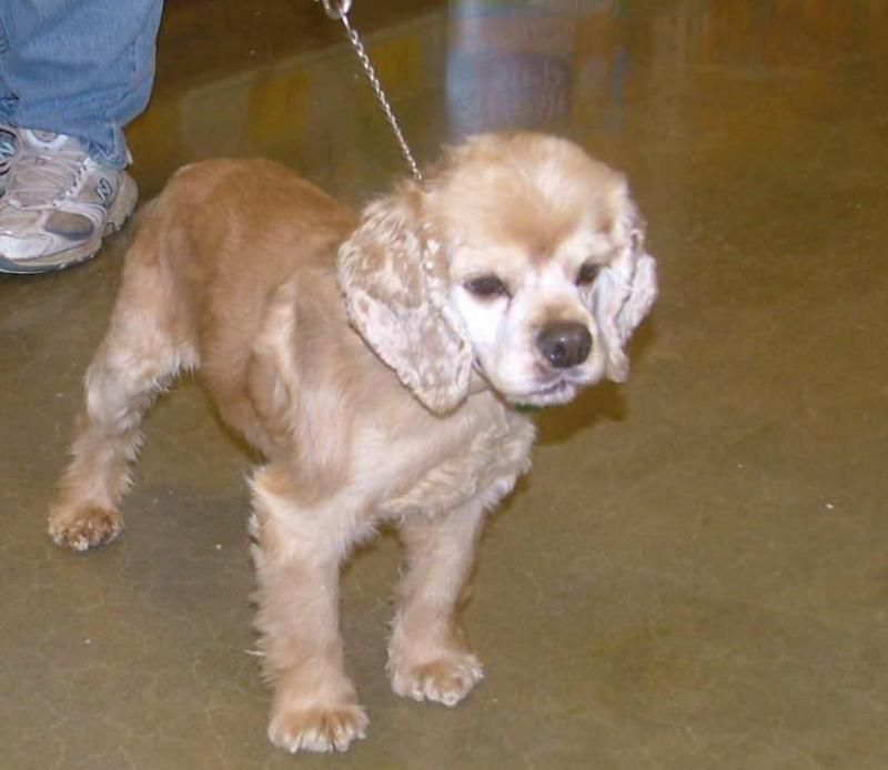 Adopt Benton On Petfinder Cocker Spaniel Dog Cocker Spaniel Dogs