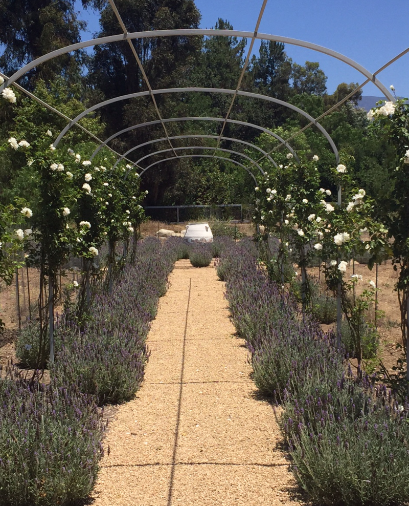 Covered Walkway Designs For Homes: Spanish Lavender And White Roses Line The Steel Trellis