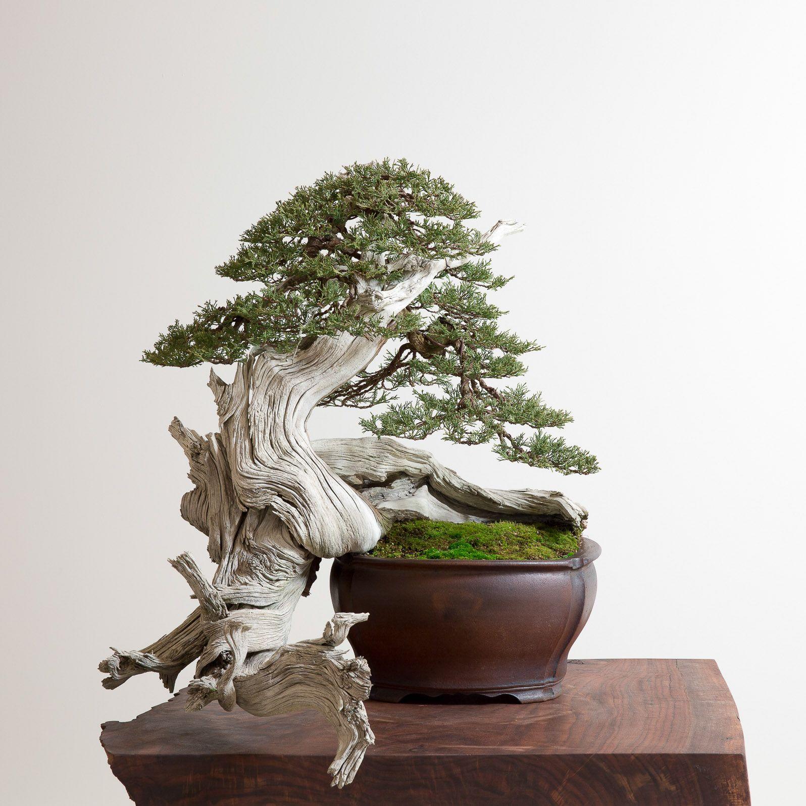 1 Bonsai Mirai Rocky Mountain Juniper
