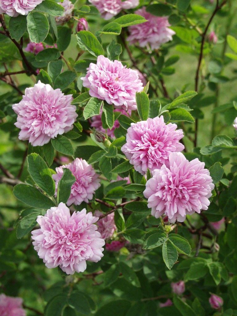 Rosa Majalis Tornedal Tornionlaaksonruusu
