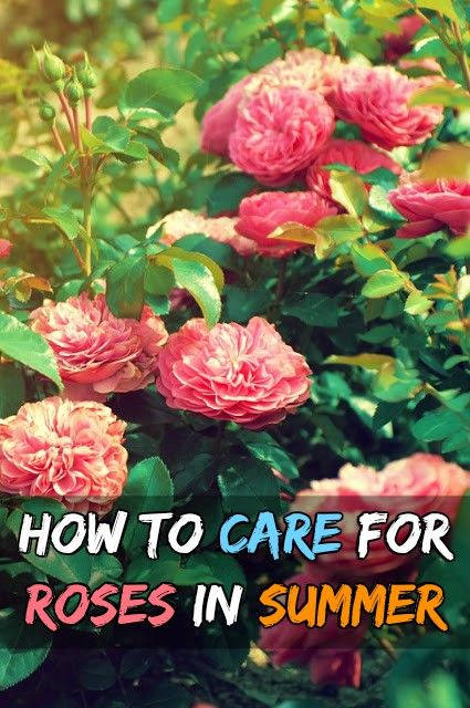 How To Care For Roses In Summer Grow Your Own Garden Rose Care
