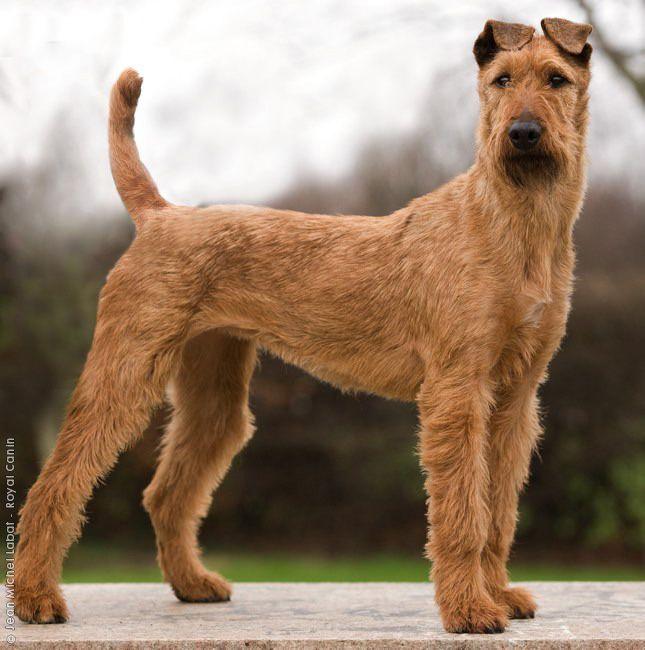 Encyclopediapage Breed Encyclopedia Purebred Dogs Your Dog Irish Terrier Purebred Dogs Irish Dog