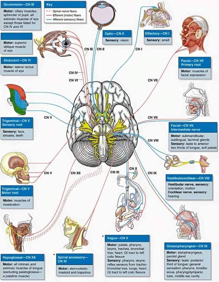 ☤ MD ☞ Cranial nerves. | brain stuff | Pinterest | Anatomy, Brain ...