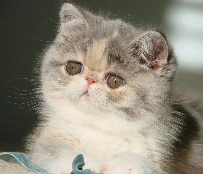 Persian kittens for sale reading