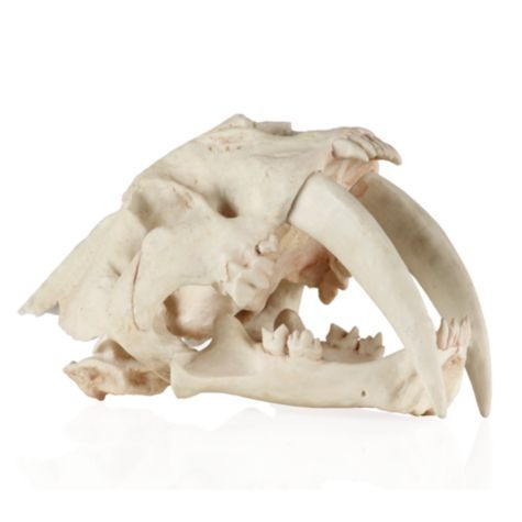 9545435ec Saber Tooth Tiger Skull from Z Gallerie | Home Decor Inspiration ...