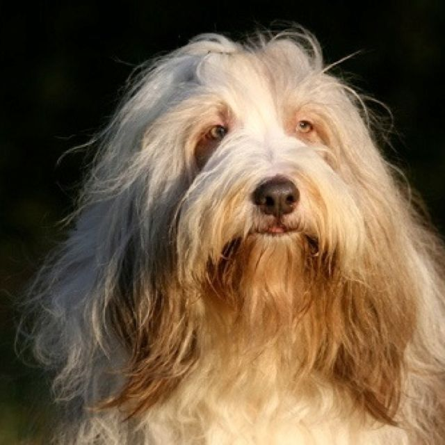 World Most Beautiful Bearded Collies Frodo Fawn The Big Blond
