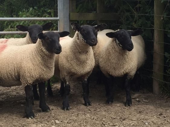 Suffolk x mule ewe lambs | Daft Almost Useless Stuff | Lambs