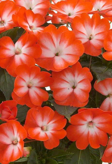 Impatiens New Guinea Harmony Orange Star Impatiens Pinterest