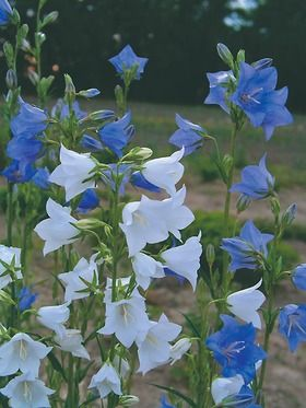 Campanula New Giant Flowers Perennials Flower Garden Plans Ground Cover Plants