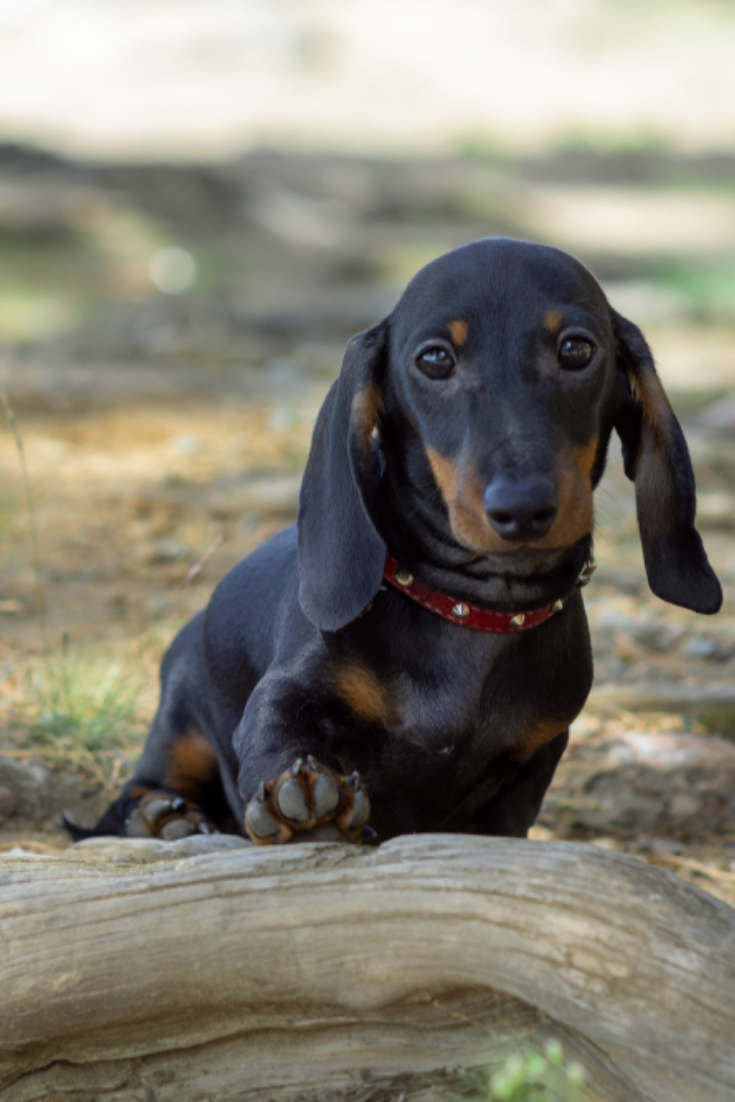 Cute And Shy Wire Haired Miniature Dachshund Puppy Posing For The Photographer Dachshund Puppy Miniature Dachshund Puppies Miniature Puppies