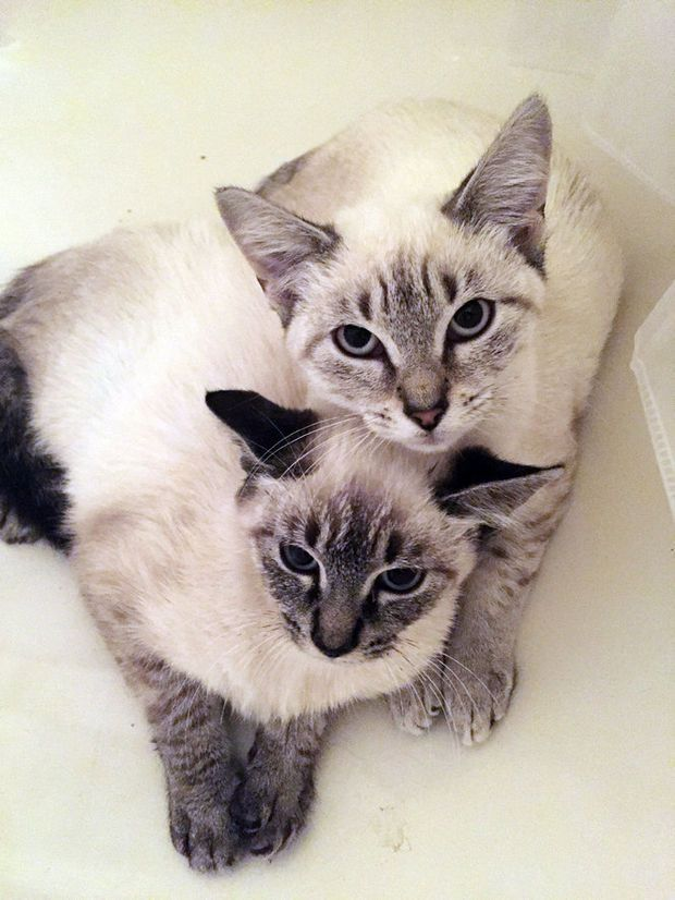 Siamese Kittens Must Be Adopted Together Siamese Kittens Cats