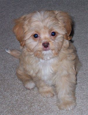 Poochin Poodle Japanese Chin Mix Puppy Me And My Dog Designer