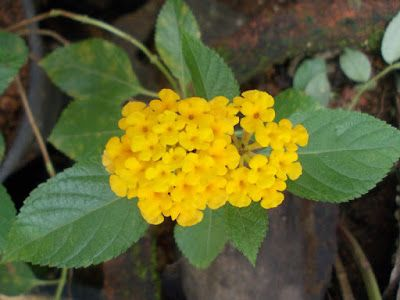 Gold Trailing Lantana Plants Flower Pictures Dream Garden
