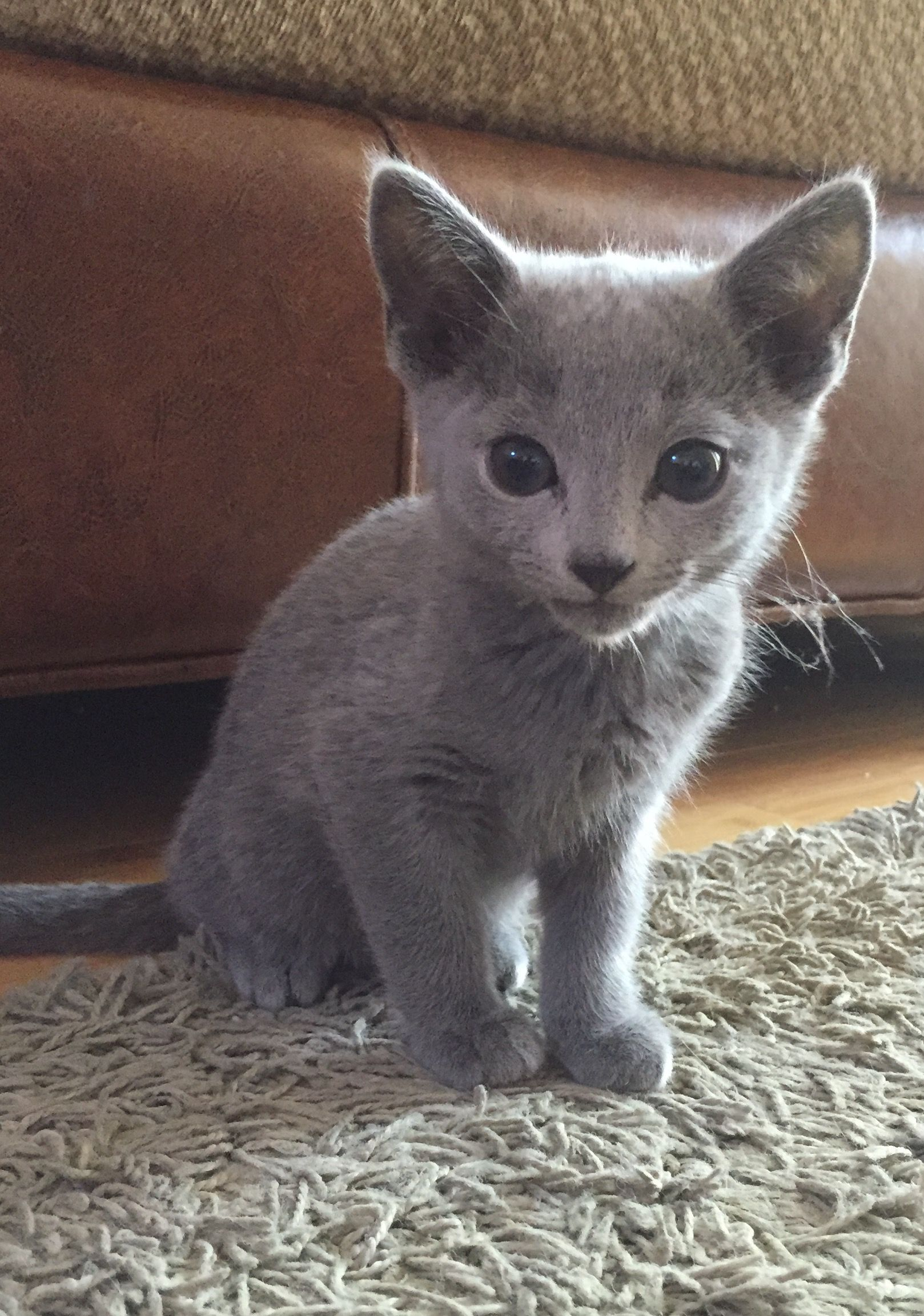 Discover The Russian Blue Cats Милые котики, Котята