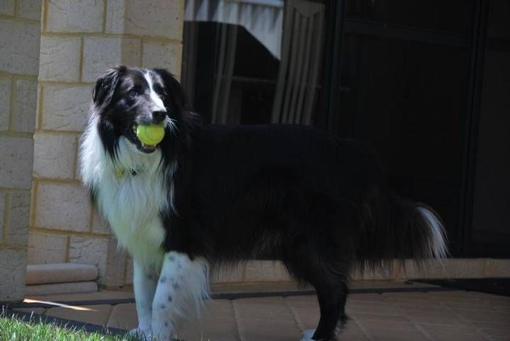 Bassendean Dog Lover Wanted House Sitter Needed Bassendean