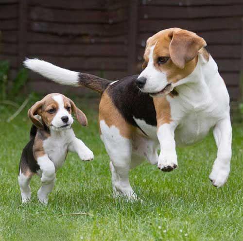 beagle gras pierde din greutate)
