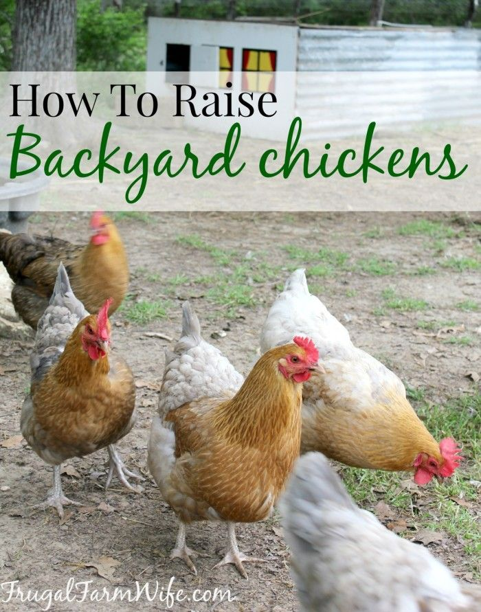 How To Raise Chickens In Your Backyard | Chickens backyard ...
