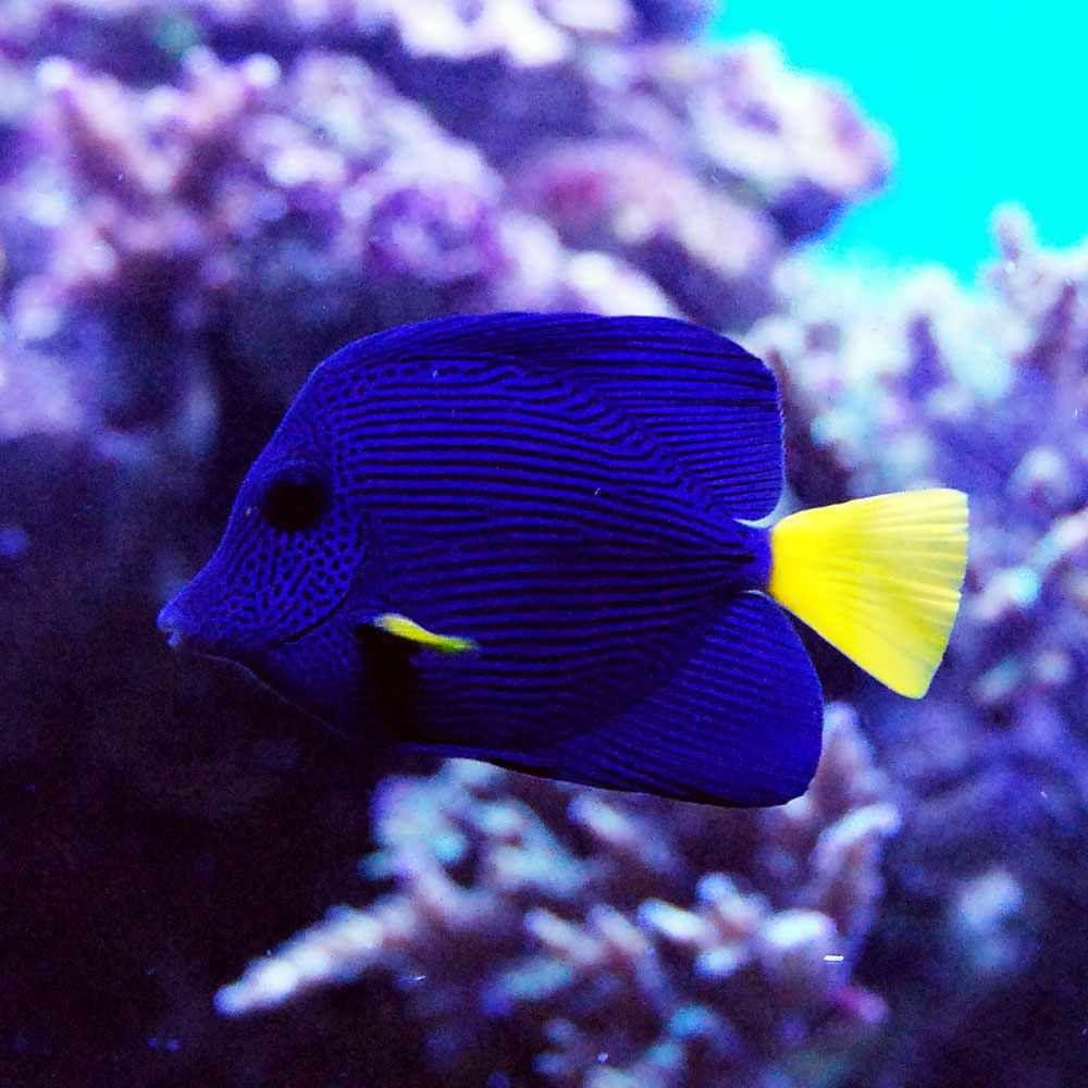Purple Tang Fish Balik