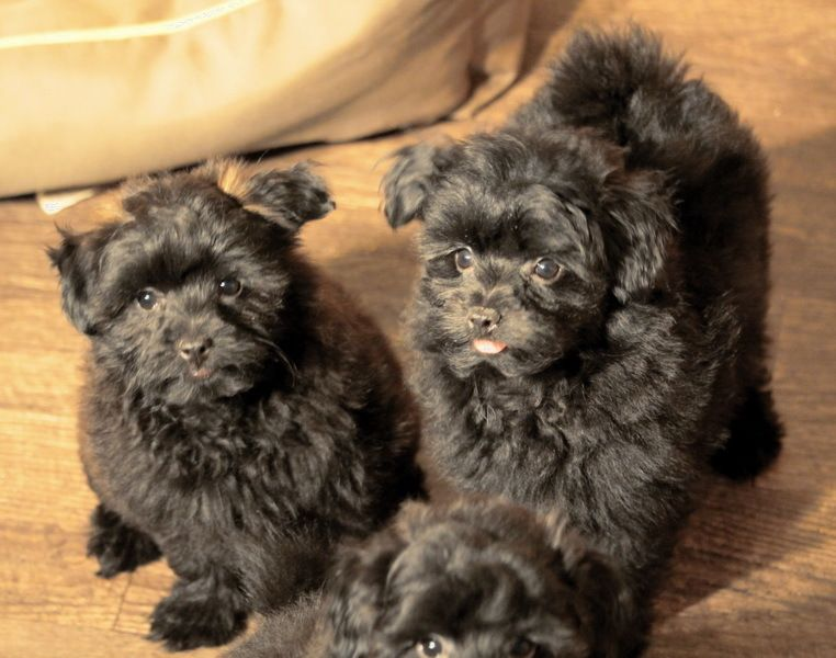 Puppies For Sale Poodle Puppy Puppies For Sale Goldendoodle Puppy