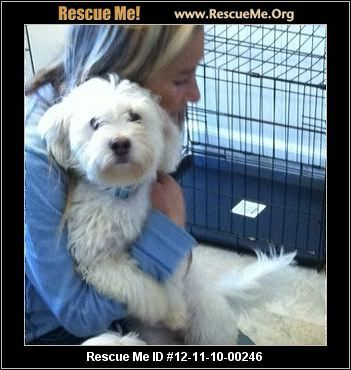 Havanese Rescue Ohio Havanese Fluffy Puppies Animal Shelter
