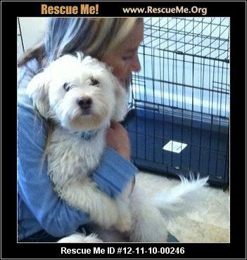 Havanese Rescue Ohio Havanese Fluffy Puppies Animal Shelter