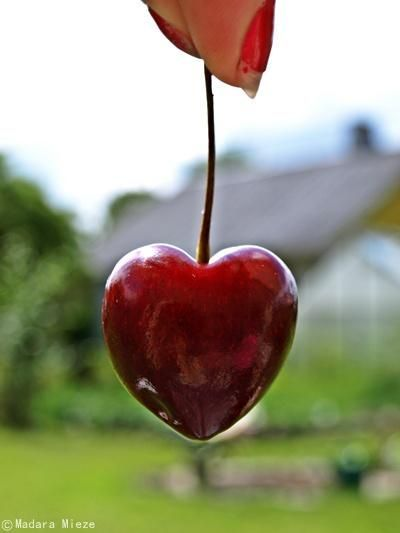 Heart Shaped Cherry Heart In Nature Heart Shapes Heart Day