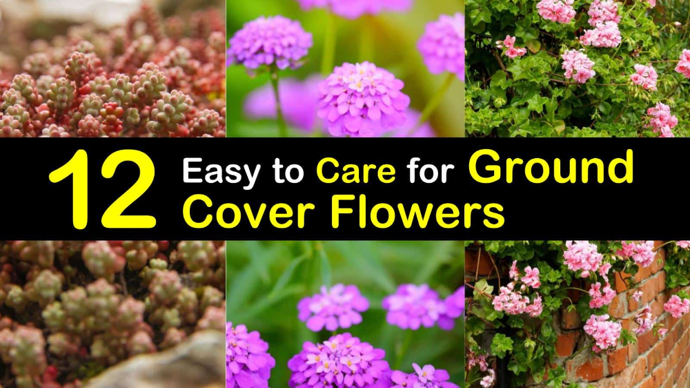 12 Easy To Care For Ground Cover Flowers Ground Cover Flowers Ground Cover Ground Cover Plants
