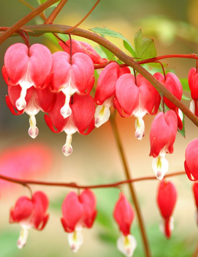 Valentine Red Old Fashioned Bleeding Heart Bleeding Heart Plant Bleeding Hearts Bleeding Heart