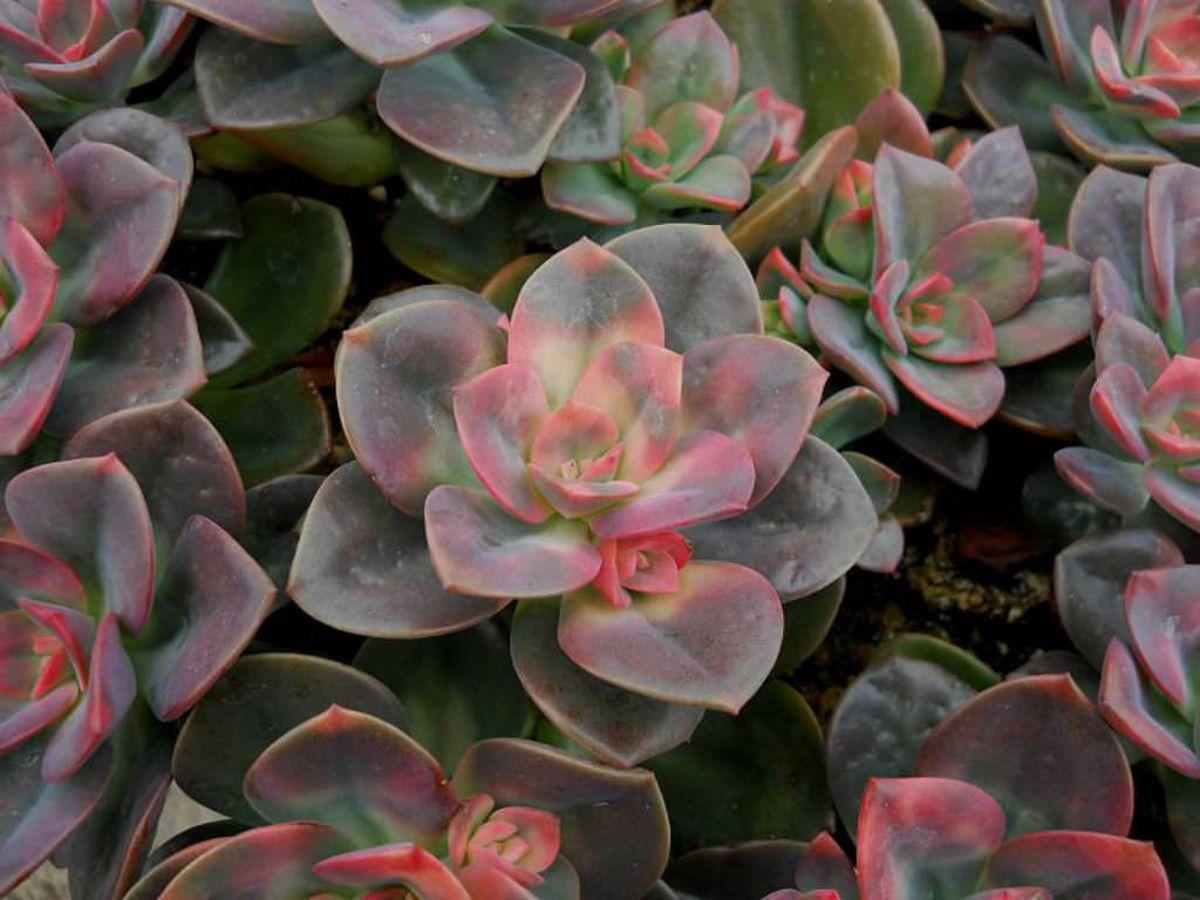 chroma echeveria u0027chroma u0027 is a hybrid created in california new