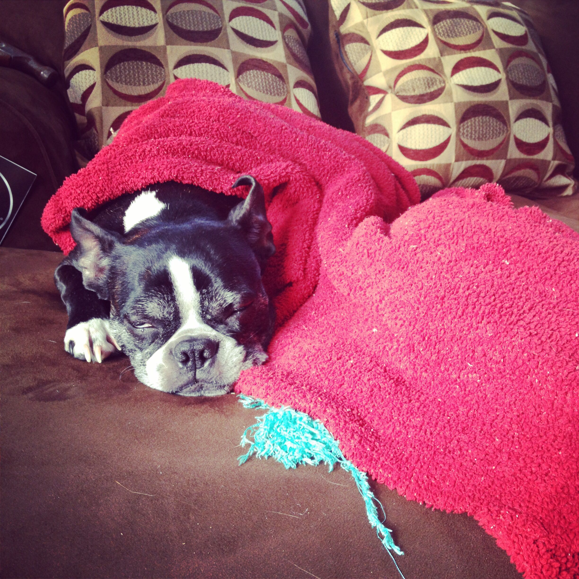 Elphie, a Boston in South Dakota, claiming the new couch as her own!