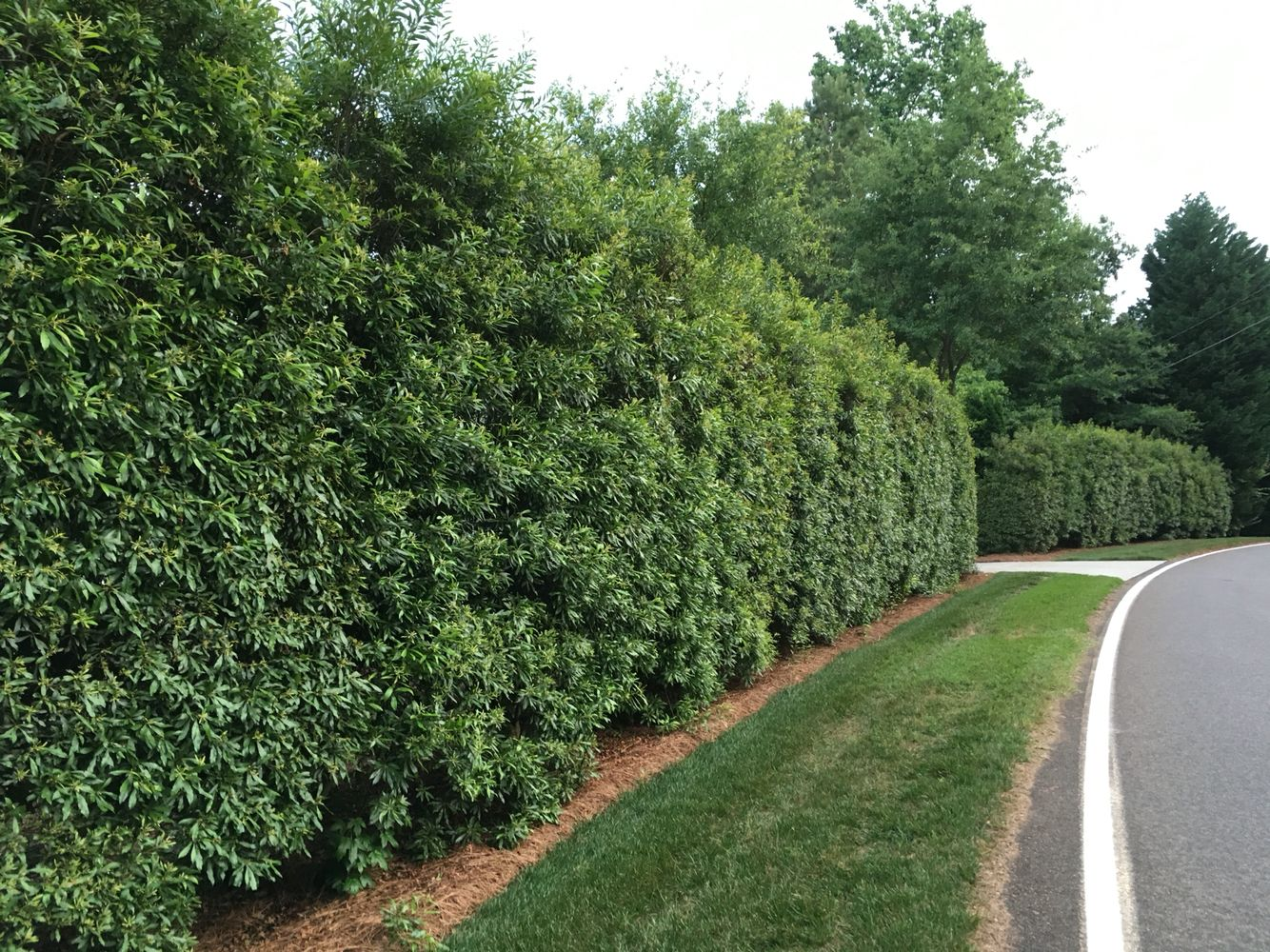 Wax Myrtle Hedge Http Www Theplantingtree Com Wax Myrtle Html Best Trees For Privacy Privacy Landscaping Privacy Landscaping Backyard