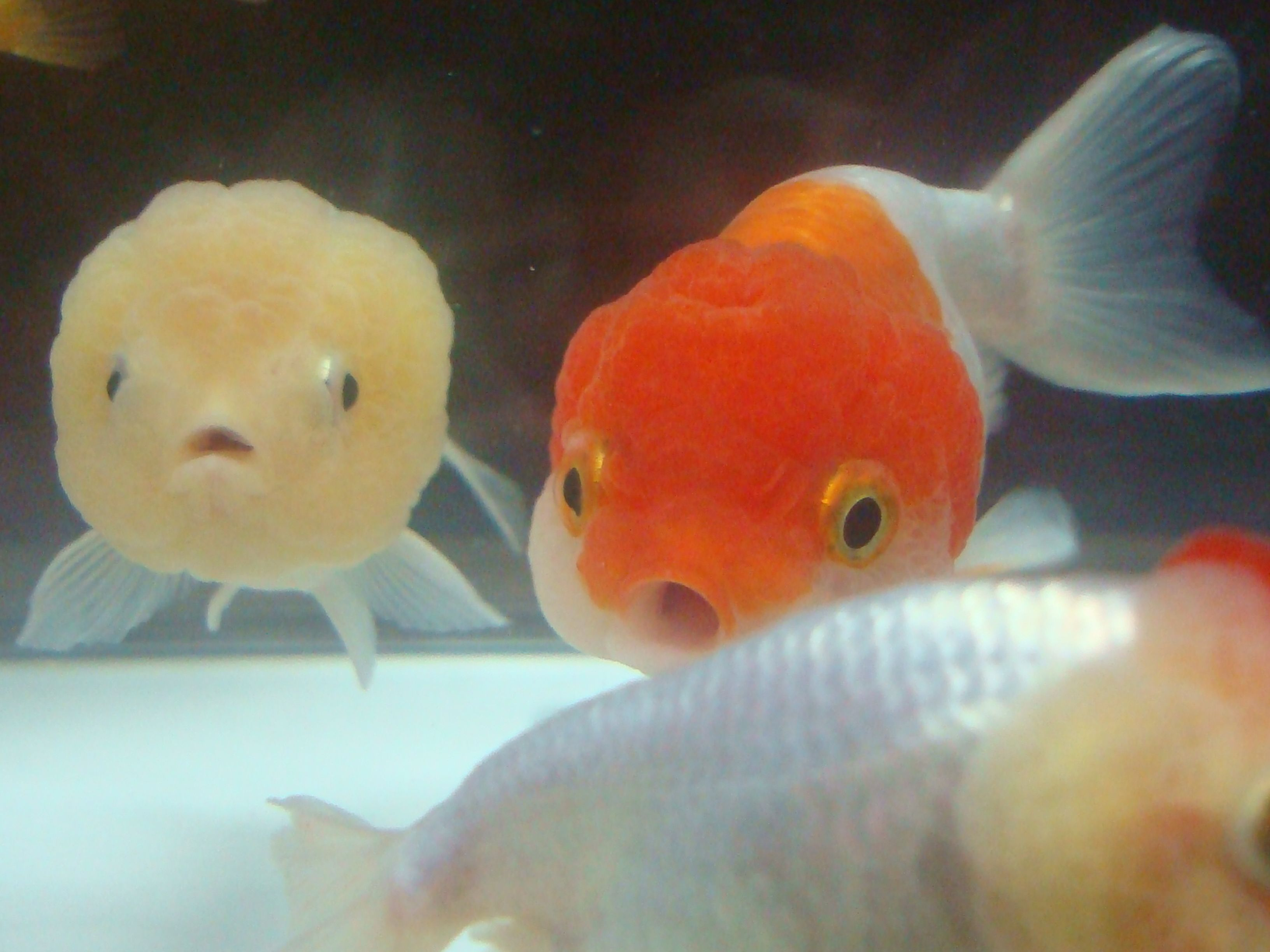 Ranchu fancy goldfish my dream is to have a large 70 90 for Big gold fish