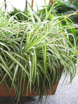 Zielistka Lac Chlorophytum Ang Spider Plant Uprawa Zielistki Rosliny Do Domu Rosliny Doniczkowe Rosliny Pokojowe Rosliny Zielne By Plants Garden Herbs